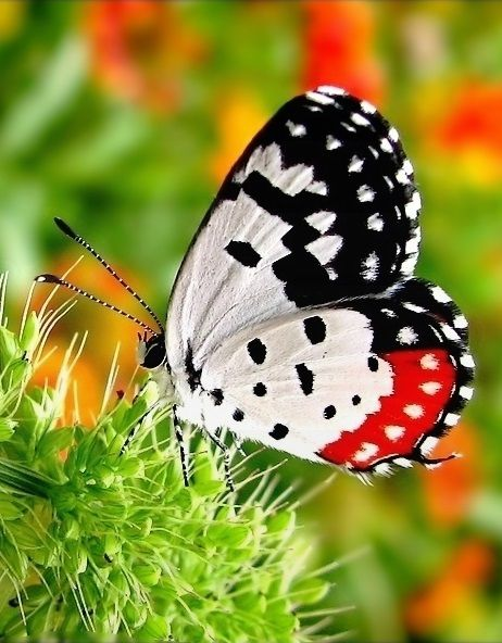 ~~Red Pierrot (Talicada nyseus) Butterfly~~