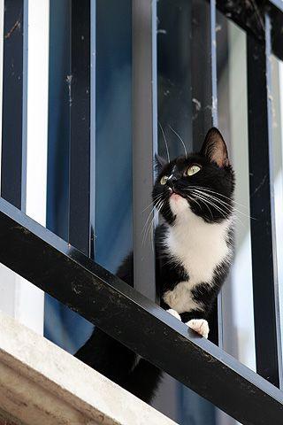 Een zwart witte kitten kijkt nieuwsgierig vanaf het balkon, om zich heen.