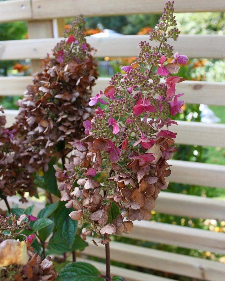 Än finns det lite rosa kvar, men är lite mer shabby chic nu   #hydrangea #pinkywinky #garden #flower