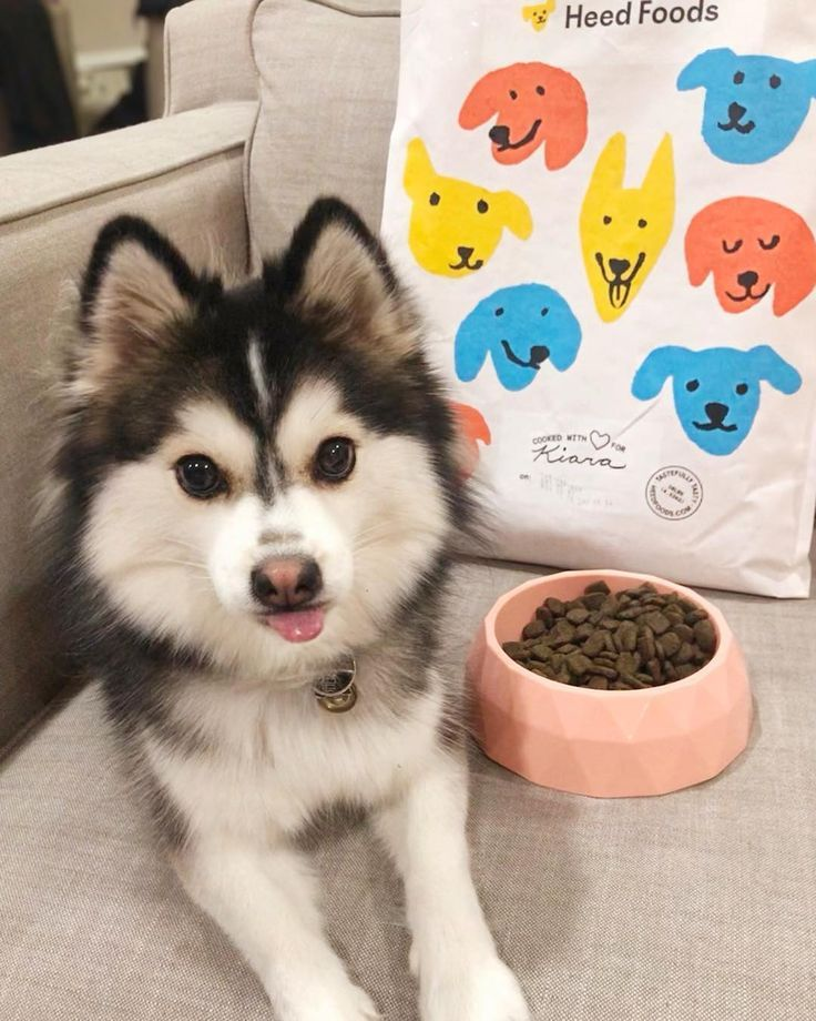 Pomsky Dog Breed Information Pictures Pomsky Dog Pomeranian