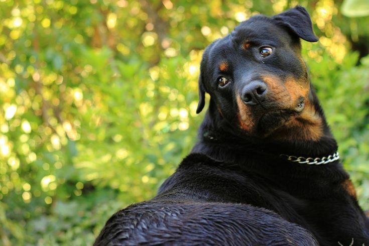 A nagyobb kutya kurtább életű - Hírek #kutya #dog #kutyabarathelyek #kutyabaráthelyek #rottweiler #cute