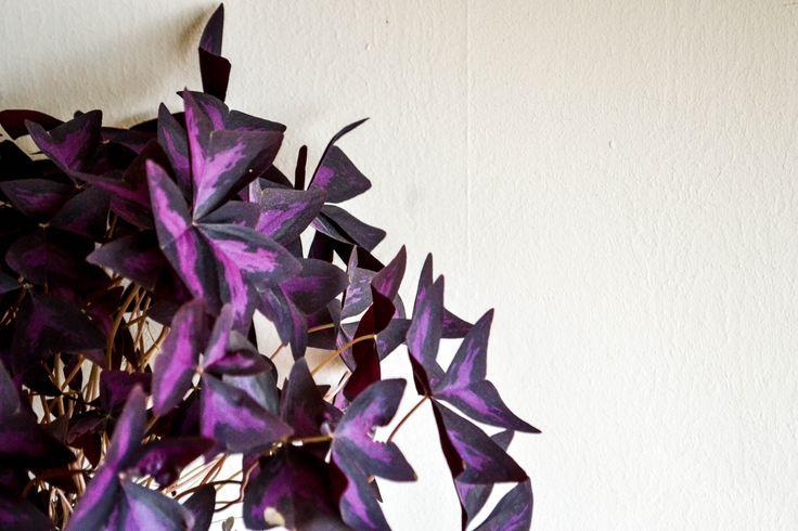 #PurpleClovers #Home #CALV