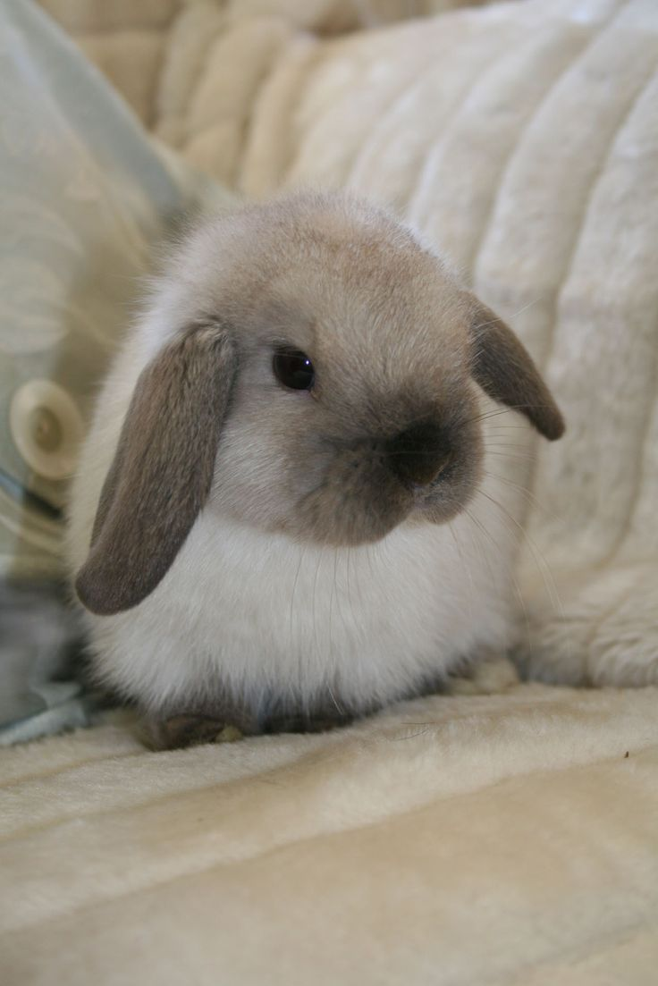 Mini Lop | Mini Lop Bucks - Elstead Rabbit Stud Tasmania