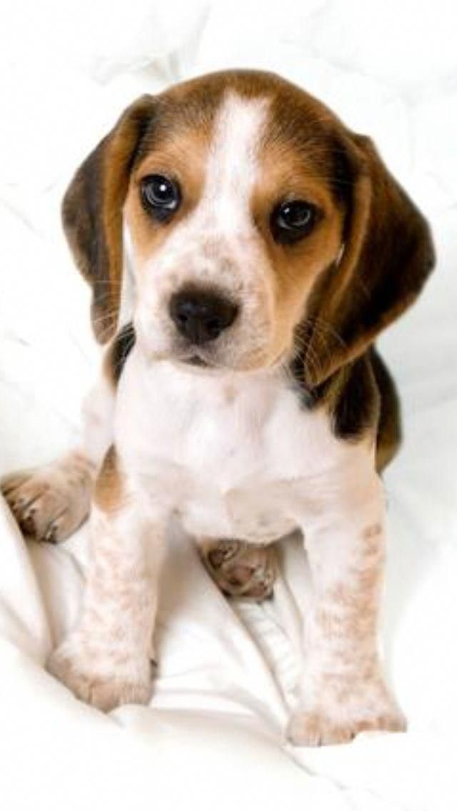 Cutest Puppy Ever Beagle Beaglepuppies Beagle Puppy