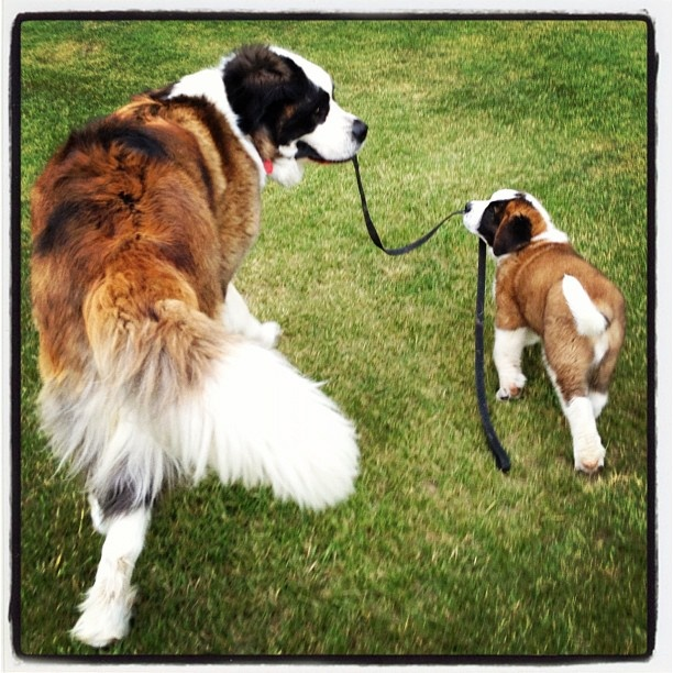 17 Best images about DOGS - ST. BERNARDS , SO LOVABLE on ...