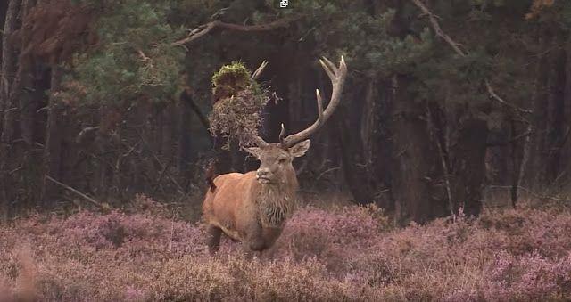 GREATHUNTING: Hirsch - König des Waldes