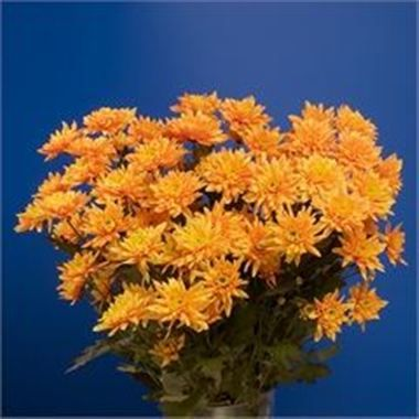 Chrysant Euro Dyed Orange are great for flower arrangements for weddings and events! They add a pop of colour to your overall arrangement! Head over to www.trienglenursery.co.uk for more information! Great wholesale prices!