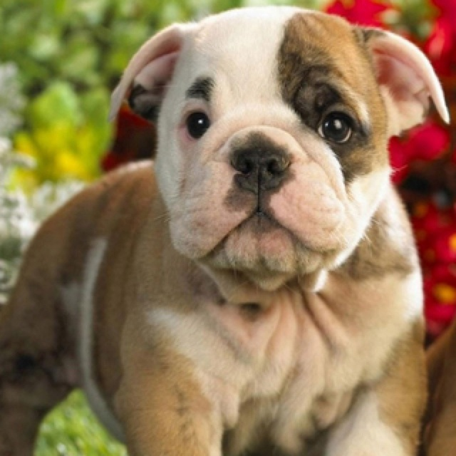 Own a bulldog from a pup