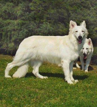Raza de perro Pastor Blanco Suizo http://www.mascotadomestica.com/razas-perros/pastor-blanco-suizo.html
