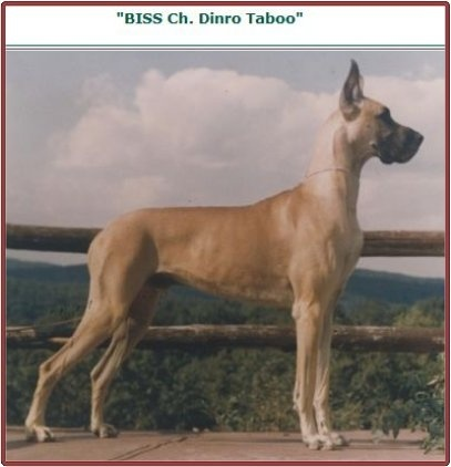 BISS CH Dinro Taboo, fawn. Sire to at least 21 champions. The epitome of selective inbreeding can be seen in his progeny - CH Dinro Taboo Again, CH Dinro Strictly Taboo, CH Dinro Taboo's Voodoo. CH Dinro Taboo sired many champions for Dinro, Reisenhof, Northcliff, Mountdania, Keppen, Danelagh and Eaglevalley and progeny for other lines that produced champion after champion.