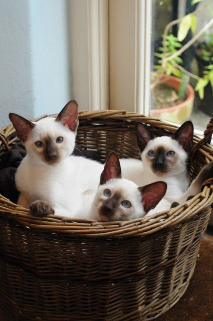 Siamese cats all cuddled up in the basket