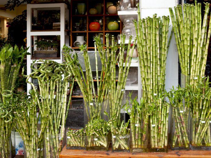gl cksbambus urban jungle pinterest gl cksbambus drachenbaum und bambus. Black Bedroom Furniture Sets. Home Design Ideas