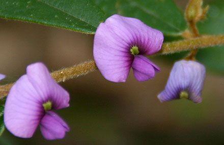 pointed leaf hovea Hovea acutifolia fine open shrub; purple pea flowers in late winter; prefers filtered light, deeper soils