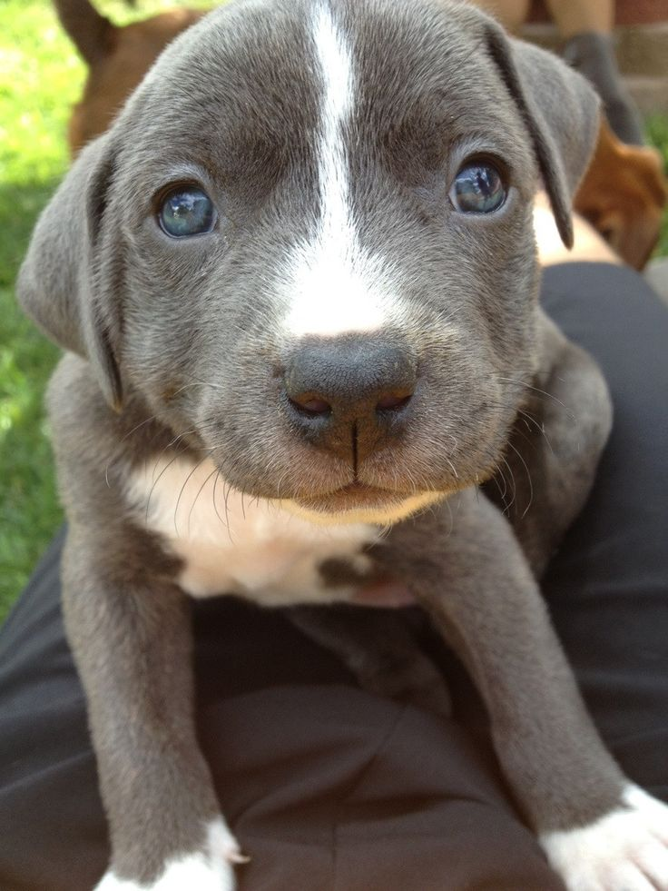 Best 25+ Cute pitbull puppies ideas on Pinterest | Cute ...