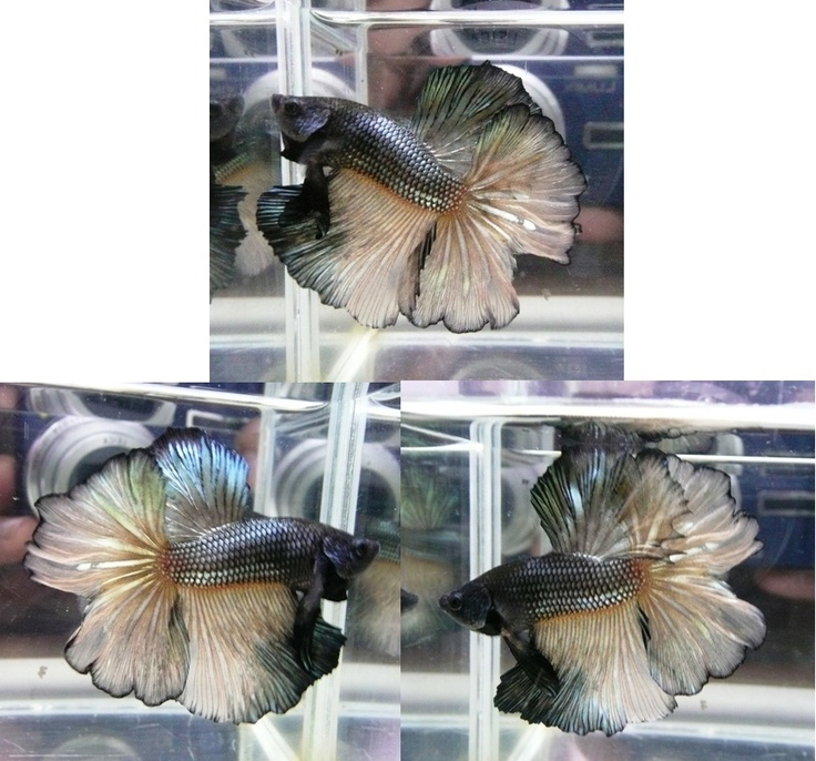 333 best images about super guppies bettas on pinterest for Largest betta fish
