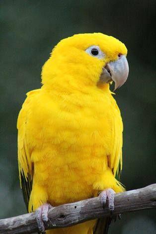 Guaruba guarouba (Guacamayo guaruba, Cotorra dorada - Golden Conure) endemic to…