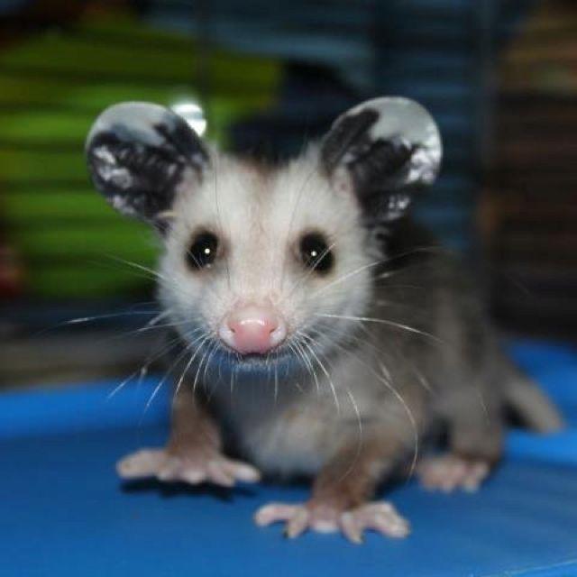 77 best Opossum