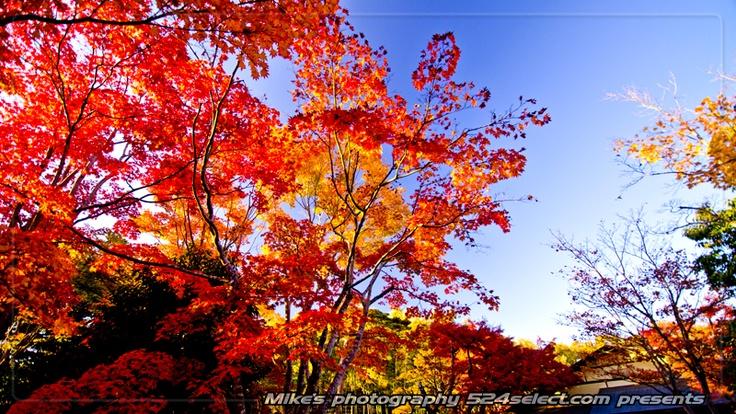 紅葉の国営昭和記念公園