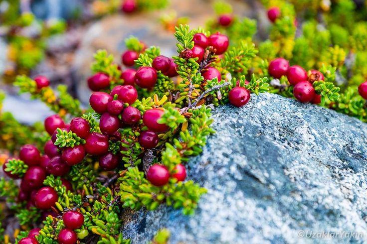 """Patagonyada yaptığımız yürüyüşlerde bol bol gördüğümüz bu sevimli bitki """"Red Crowberry"""" (Empetrum Rubrum) bu bölge ve Folkland adalarında çok sık rastlanan bir türmüş. Yürürken Hido'yu ikna edemediğimden tatma fırsatı bulamadık. Wiki meyvesinin yenilebilir olduğunu söylüyor. Bir sonrakine deneriz belki ;) #uzaklaryakin #patagonia #argentina #patagonya #Arjantin"""