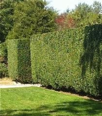 Ligustrum privet hedge