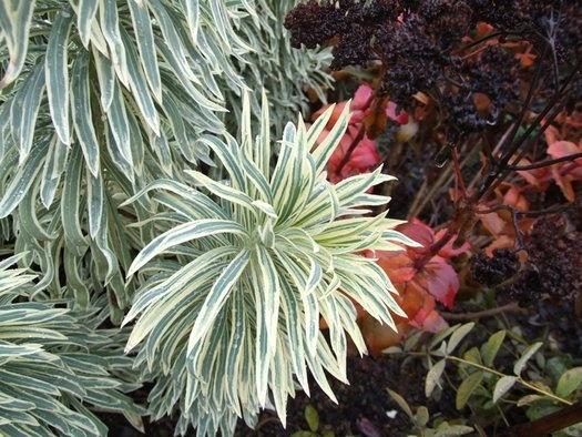 Euphorbia 'Tasmanian Tiger'