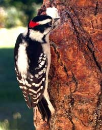 Downy WoodpeckerFine Feathers, Animals Birds Insects, Beautiful Earth, Boister Birds, Earth Creatures, Downy Woodpecker, Beautiful Birds, Michigan Backyards, Feathers Friends