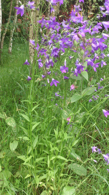 Колокольчик раскидистый Campanula patula L.  - травянистое двулетнее растение. Растет на лугах, лесных полянах, опушках. Зацветает в начале лета. Используется в народной медицине.