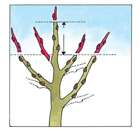 Einen Apfelbaum richtig schneiden