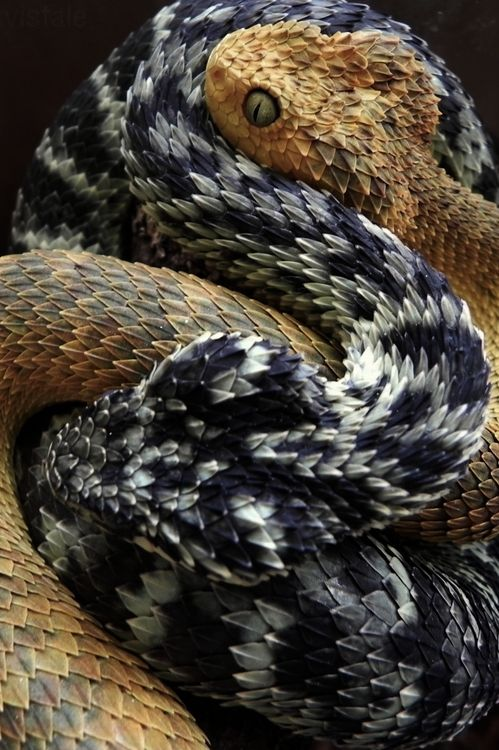 awesome scales on these snakes--Atheris squamigera #snakes #reptiles #topanimals