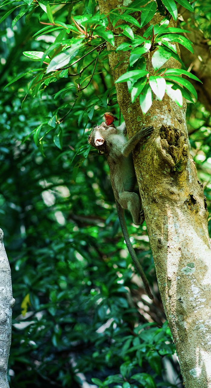 Little monkey climbing tree in Vam Sat Park, Can Gio Mangrove Forest