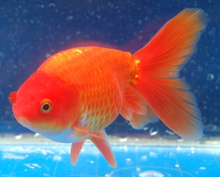 Goldfish pretty red shukin goldfish for the pond for Aquarium fish for pond
