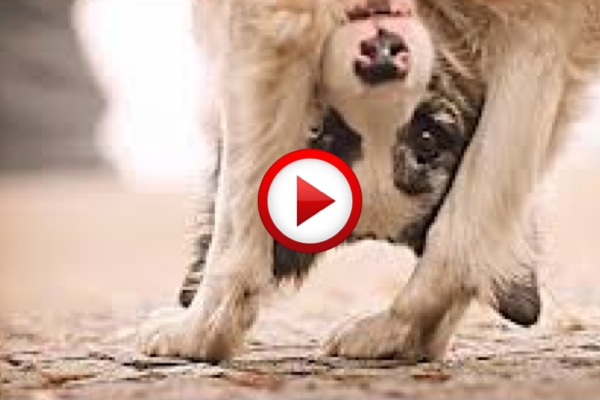 Amazing Dog Tricks Video #dogs, #animals, #videos, #videobox, #pinsland, https://apps.facebook.com/yangutu