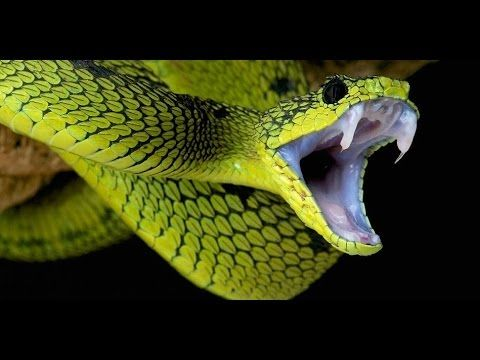 The World's Deadliest Snake Discovered - Dangerous Snake Documentary https://youtu.be