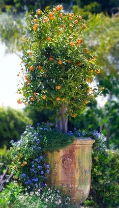 Tiny Orange Trees in Jardeniers.  Beautiful flowers in an Italien style garden. Luxury Lifestyle Home