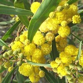 Mimosa des 4 saisons 'Lisette' (soleil)