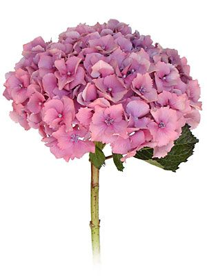 Pink hydrangea for wagon