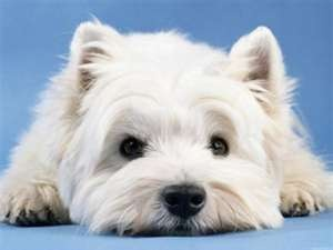 i want a westie!!! :D
