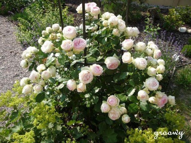 'Pierre de Ronsard', Eden rose, climbing rose