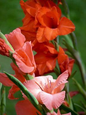 Gladiole (Gladiolus)