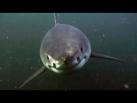 How It Feels To Be Chased By A Great White Shark - YouTube
