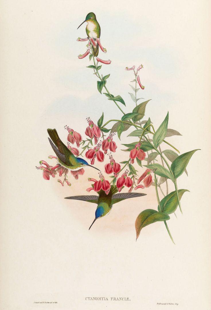 John Gould - hummingbird. Cyanomyia franciae – Francia's Azure-Crown – on Cuphea cordata