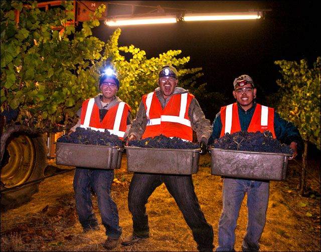 We've all got night jobs! Many California wineries harvest their grapes under the cover of darkness. Why? Cooler temps result in fresher fruit coming into the winery. #CaliforniaWineMonth #harvest