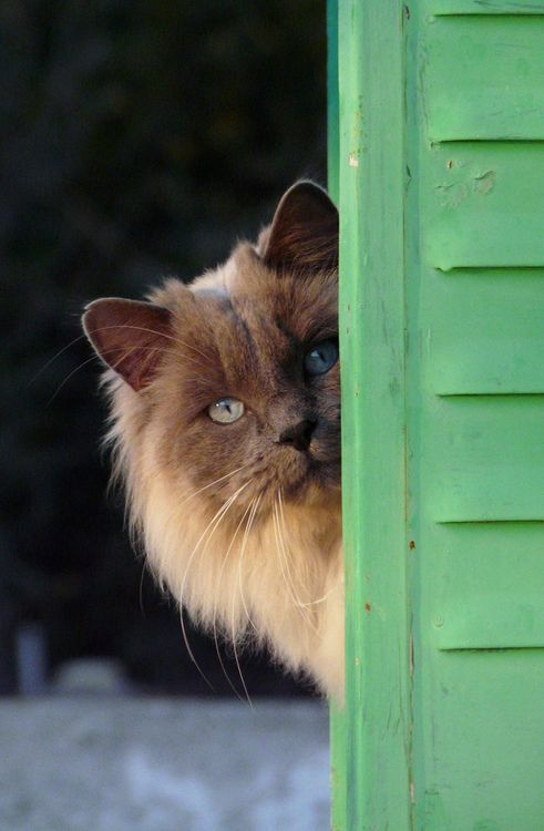 =^.^=. Hello, Gorgeous! Blue point Himalayan.