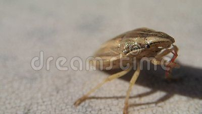 A Brown striped bug trying to clean its antennas
