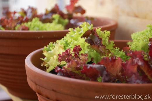 foresterblog.sk | living green in the city Growing salad in winter