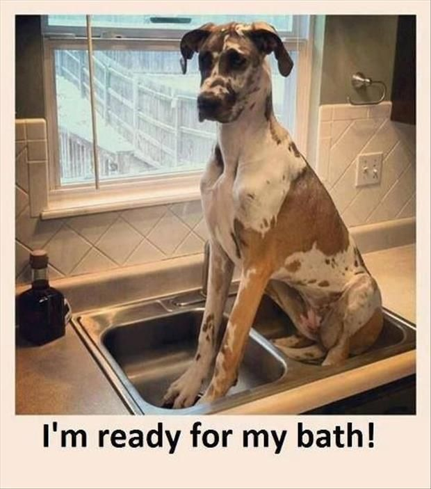 """I'm ready for my bath!"" ~ Dog Shaming shame - Great Dane - Some just never grow up.."