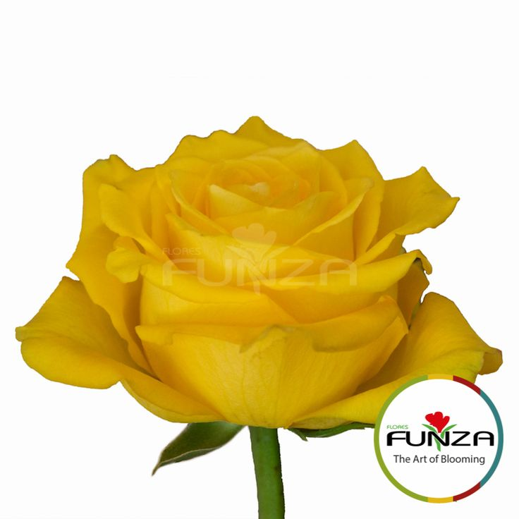 Yellow Rose from Flores Funza. Variety: Bikini, Availability: Year-round