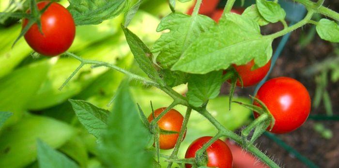 Tomates en macetas: 10 sencillos consejos para el éxito. | Urbanicultor.es