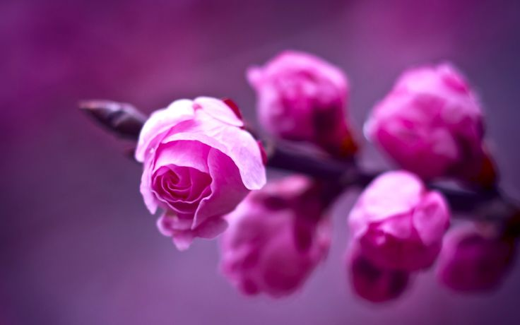 flowers pink roses bokeh