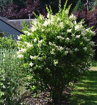 Wax leaf ligustrum landscape pinterest flower beds for Wax landscape